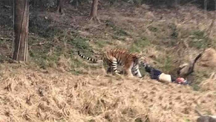 VIDEO: Tigre mata a hombre en zoológico de China