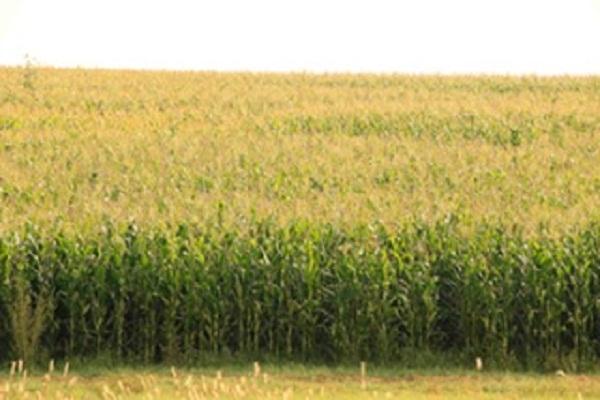Clima de Ags. no es idóneo para sembrar maíz de temporal: Investigador de la UAA