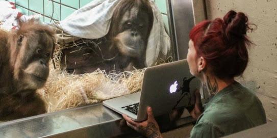 """Oranguntana busca sexo en """"Tinder"""""""