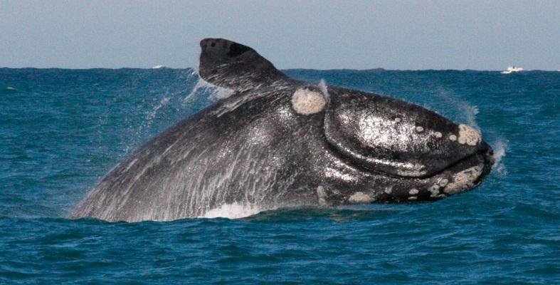 Ballenas francas se encuentran al bordo de la extinción