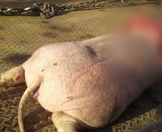 Cerdo provoca accidentazo con 6 personas lesionadas en la México-Puebla