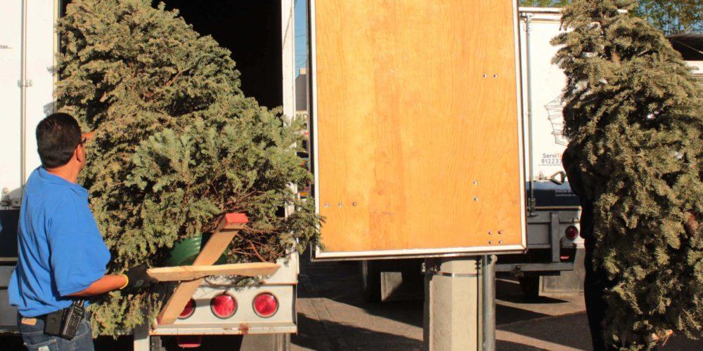 Listo operativo del MuniAgs para acopio de árboles navideños naturales