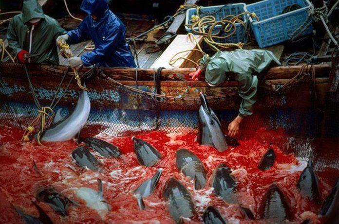 La brutal caza de delfines en Japón que nadie ha podido detener