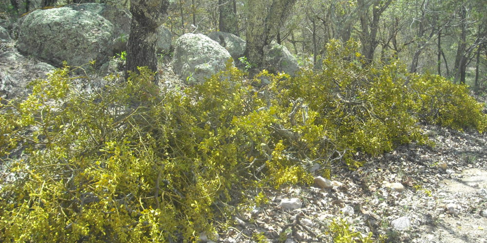 Controlan plaga forestal en la Sierra Fría de Aguascalientes