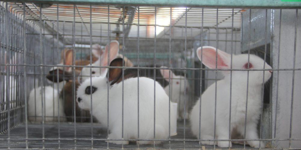 Activan emergencia de sanidad enfermedad hemorrágica viral en conejos