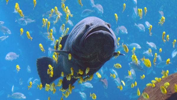 Un tiburón es tragado por un pez gigante