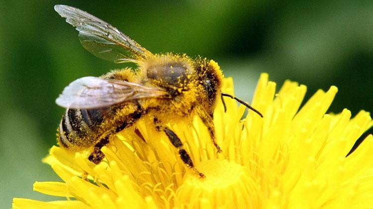Descubren compuesto natural que protege a abejas de parásitos