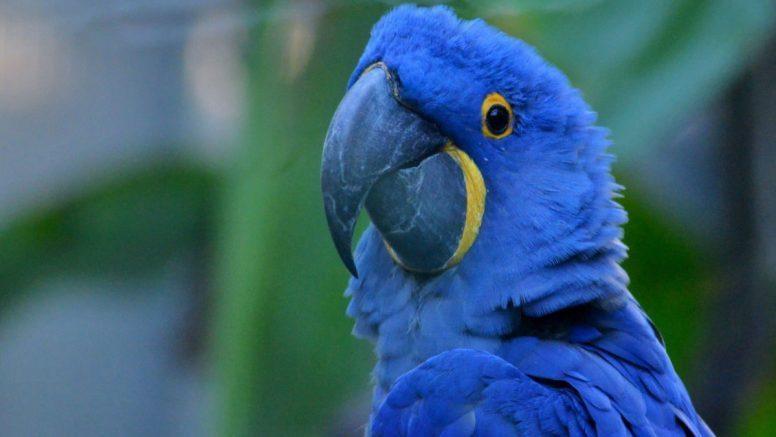 En Paraguay nace Guacamaya Azul que se consideraba extinta