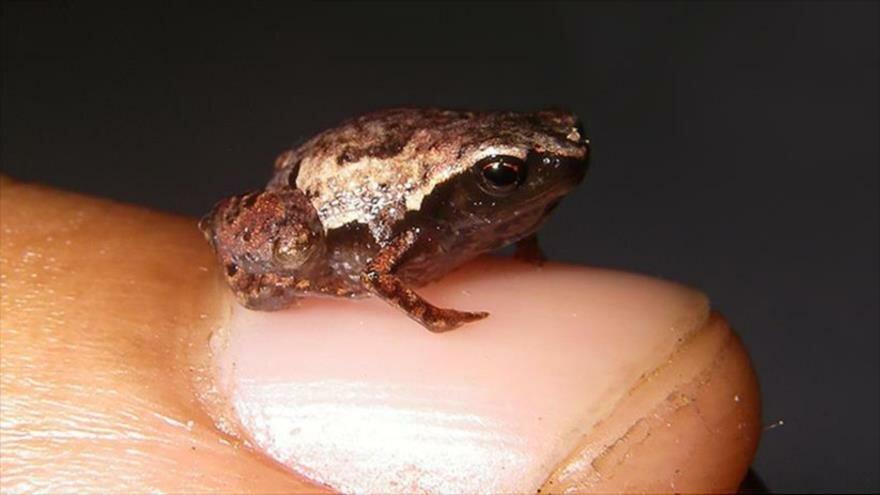 Las ranas más pequeñas del mundo están en Madagascar