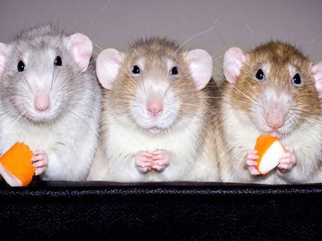 Ratas pueden recordar quien las ayudó y regresar el favor