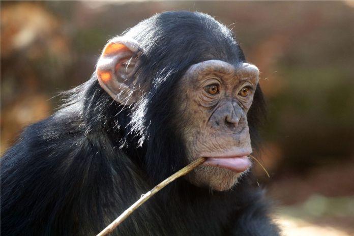 Checa como un chimpancé dio un golpe de estado en la vida real