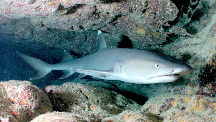Un tiburón se come a otro en un zoológico de Bélgica