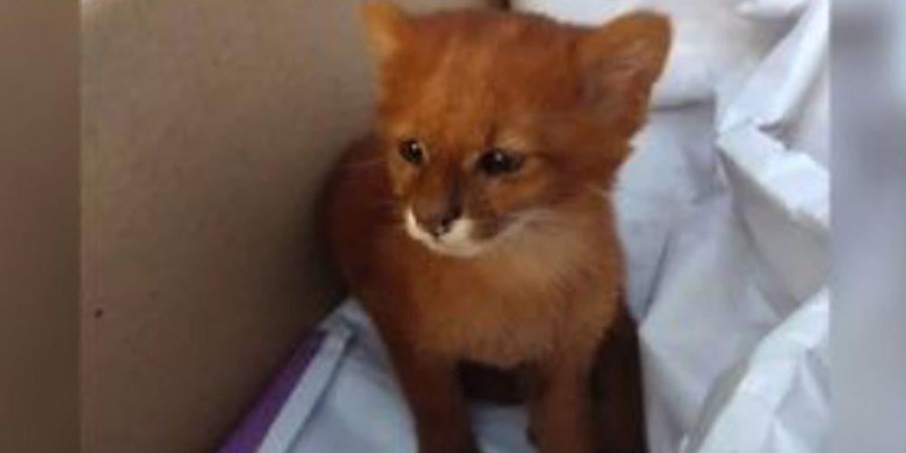 Rescató a un gatito que resultó ser un puma