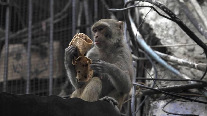 Un mono mata con una piedra a un bebé de 4 meses