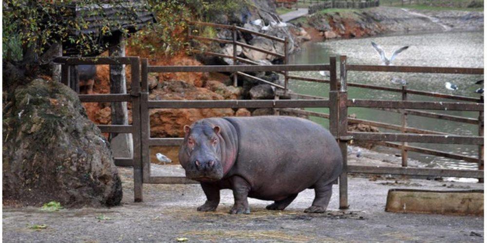 Pedo de un hipopótamo deja tres hospitalizados