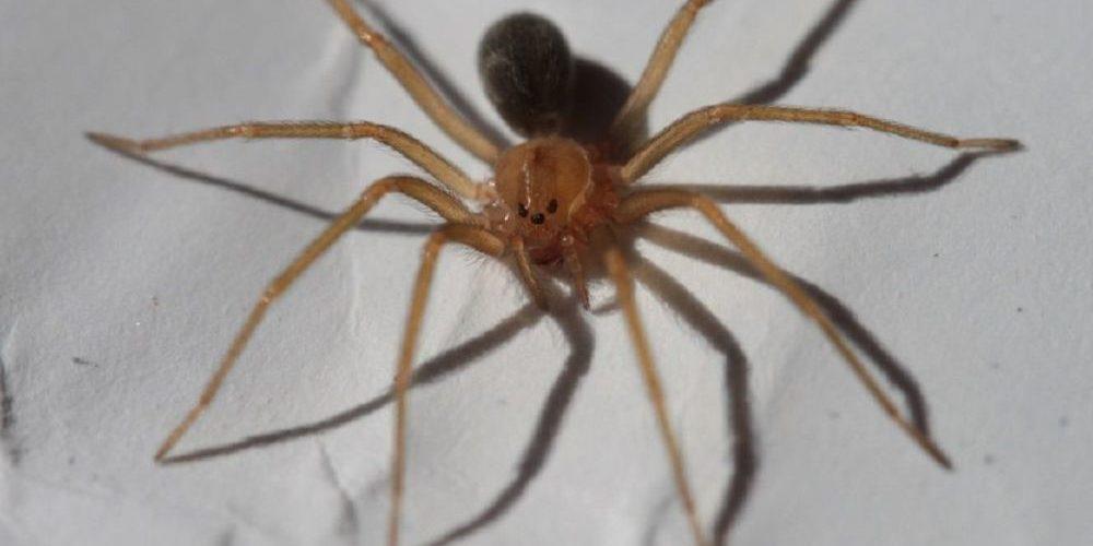 Encuentran en México nueva especie de araña violinista