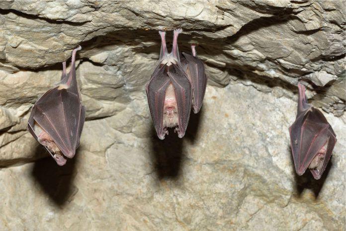Los murciélagos se posan boca abajo para poder volar