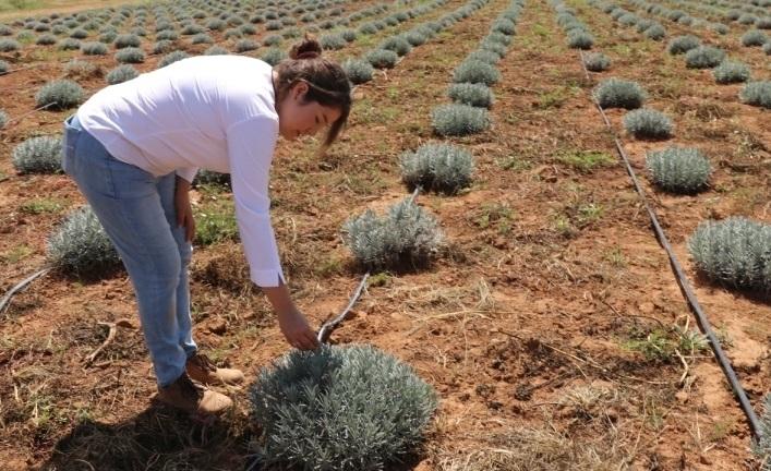 Cultivan hierbas aromáticas para aceites en Aguascalientes