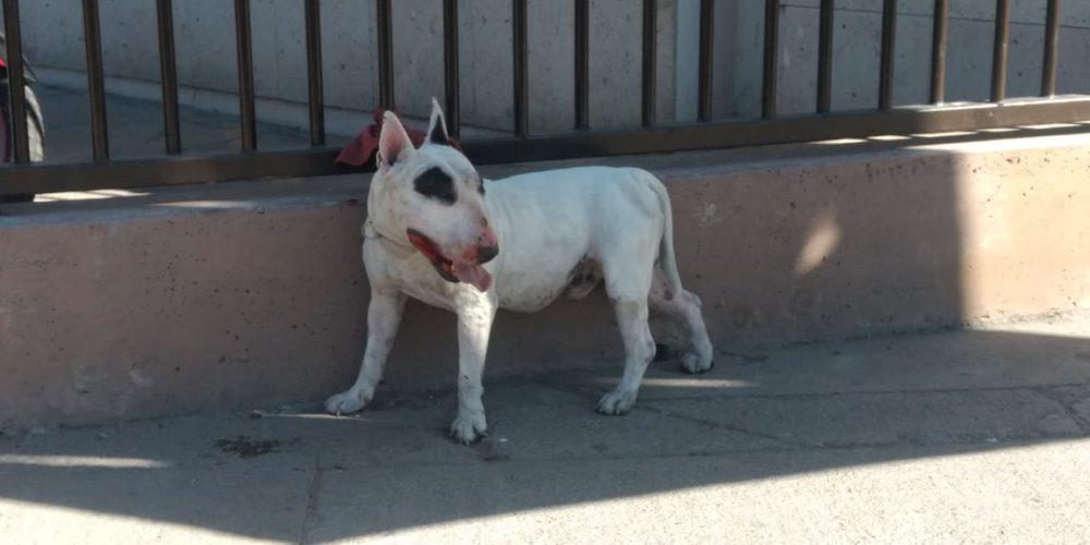 Reportan a perro agresivo sobre H. de Nacozari