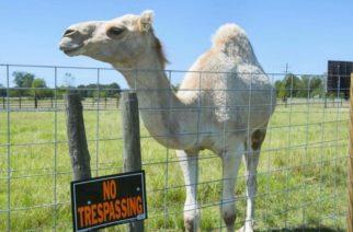 ¡Salva su vida al morder los testículos de un camello!
