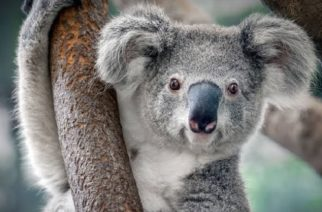 Habrían muerto miles de koalas por incendios en Australia