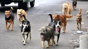 Población de perros callejeros disminuirá casi un 30 por ciento Jesús María