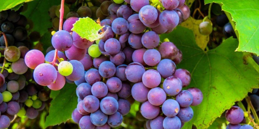 ¿Cuál es el origen de las 12 uvas en Año Nuevo?