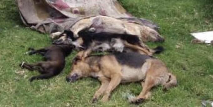 Se manifiestan por matanza de perros en Rincón de Romos, Aguascalientes