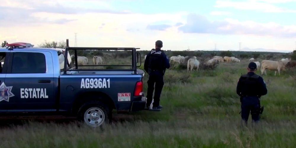 Presumen disminución en el delito de robo de ganado en Aguascalientes