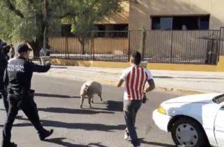 Cerdo para el tráfico en Nacozari
