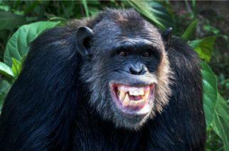 ¿Por qué los chimpancés lanzan su caca a las personas?