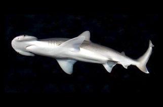Estudios afirman que varios tiburones son vegetarianos