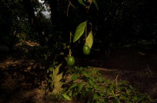 Un boicot a los aguacates mexicanos no afectará a los cárteles