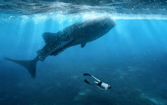 Restos de bombas nucleares ayudan a revelar la edad de los tiburones ballena