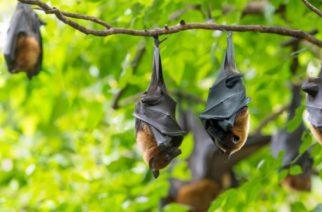 """Hallan 4 especies de murciélagos """"primos"""" de los portadores del Covid-19"""