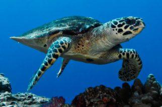 La cuarentena está salvando a tortugas en peligro de extinción