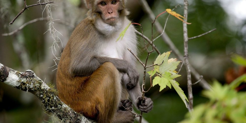 Macacos desarrollan inmunidad frente al Covid-19