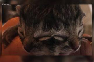 (VIDEO) Muere gatito que nació con dos caras en Estados Unidos