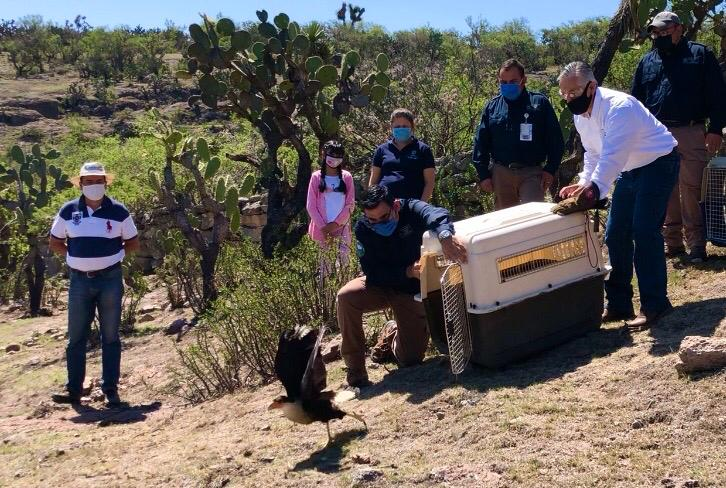 Casi 30 animales silvestres regresan a su hábitat en Aguascalientes