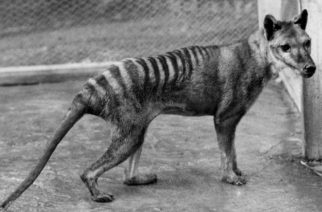 Revelan video inédito del extinto Tigre de Tasmania