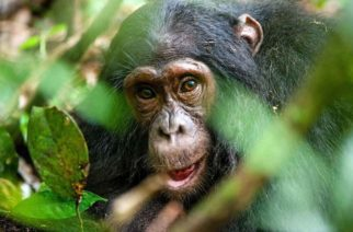 Científicos descubren que algunos chimpancés tienen un hueso en el corazón