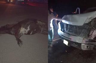 Sufren accidente por vaca que se atravesó en el camino