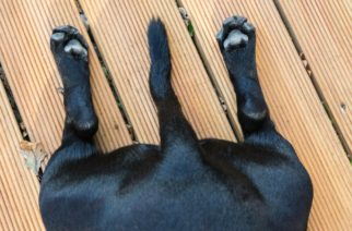 Esto es lo que dice tu perro con el movimiento de su cola