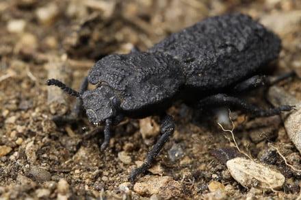 Este es el escarabajo puede sobrevivir al paso de un automóvil