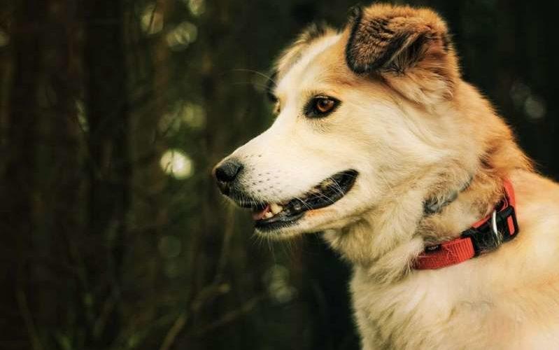 Perros entrenados pueden detectar casos de covid