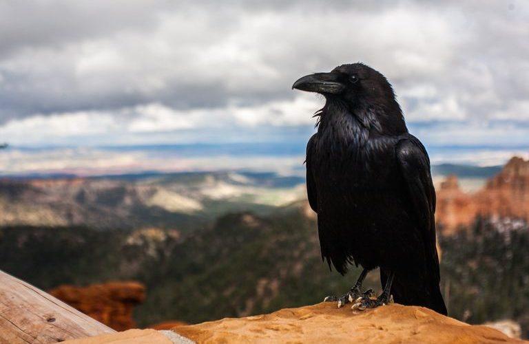 Estudio revela que los cuervos son conscientes de sí mismos