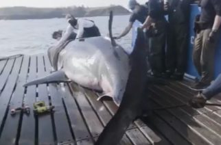 Encuentran tiburón blanco de 5 metros y lo etiquetan para monitorearlo