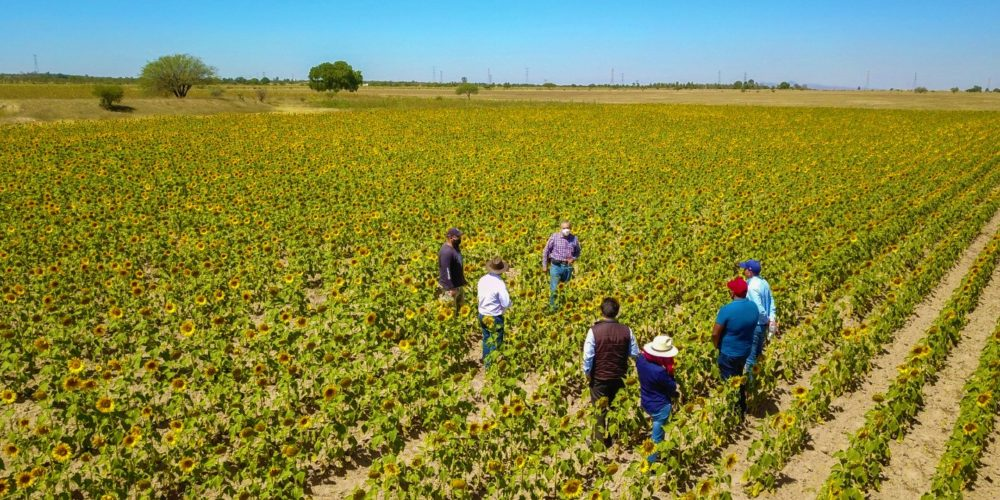 Impulsan cultivo de girasol en Aguascalientes