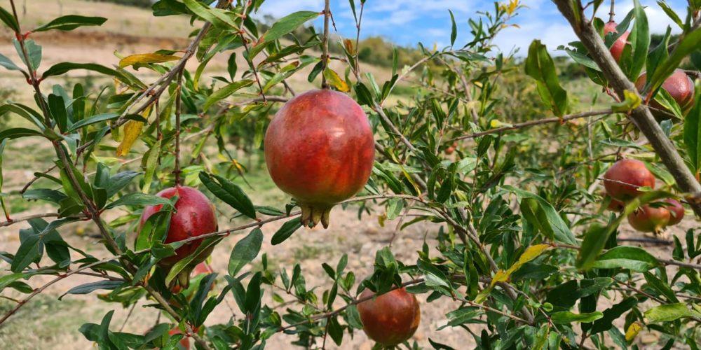 Impulsan cultivo de granada en Aguascalientes