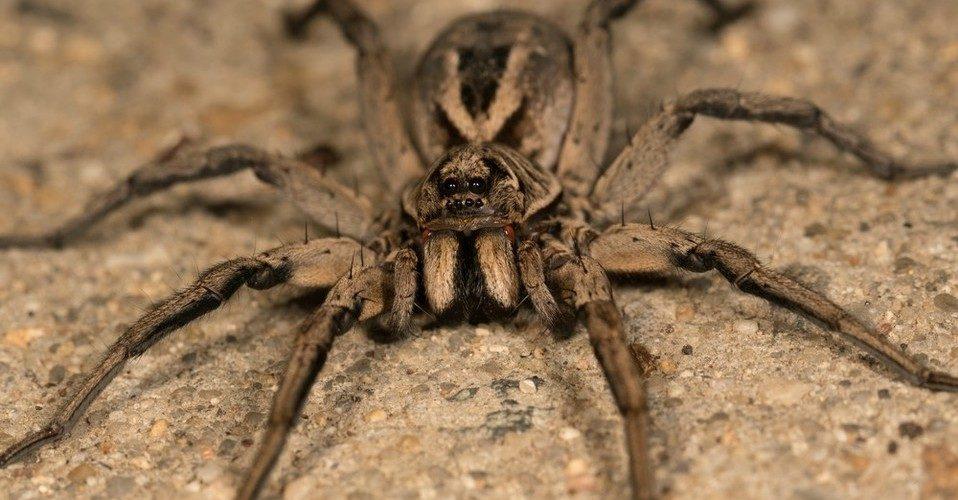 Residentes de Sochi se quejan de una invasión de arañas lobo
